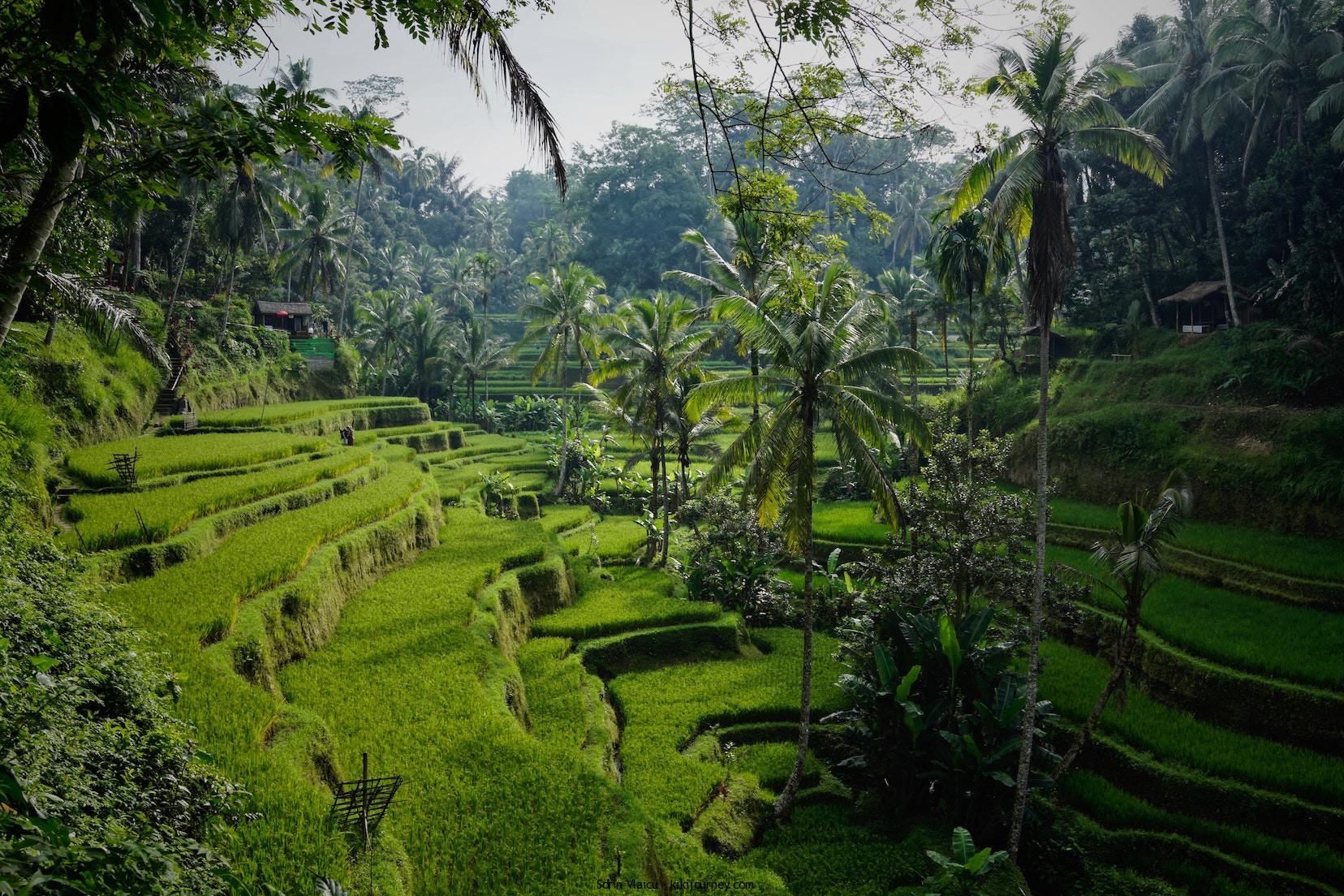 Rice Fields Indonesia